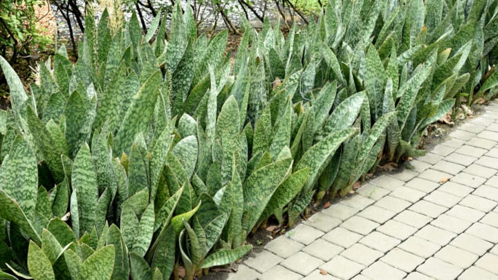 Why Is My Snake Plant Dying? All You Need to Know!