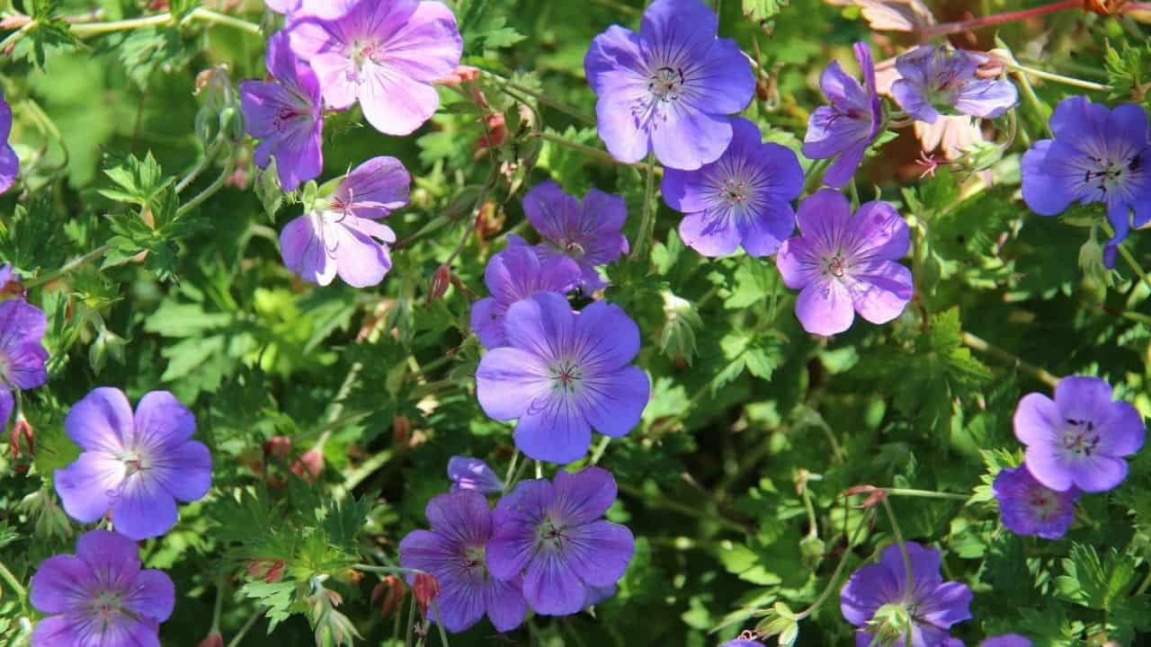 Types of Geraniums and their Characteristics 1