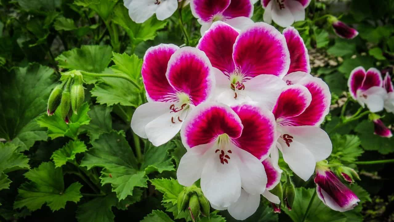 Types of Geraniums and their Characteristics 2