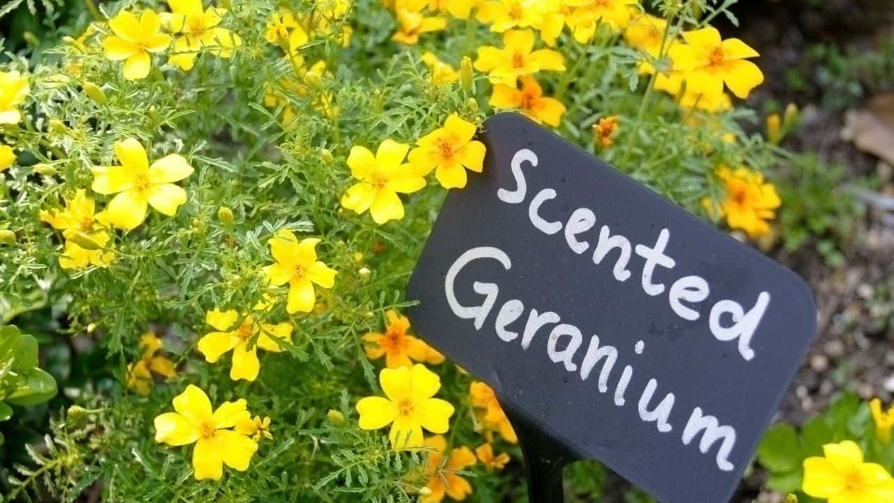 Types of Geraniums and their Characteristics 3