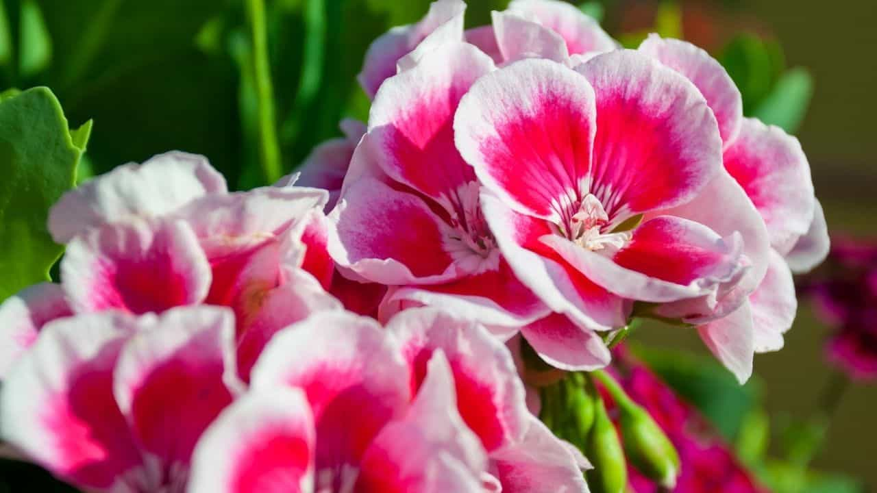 Types of Geraniums and their Characteristics 4