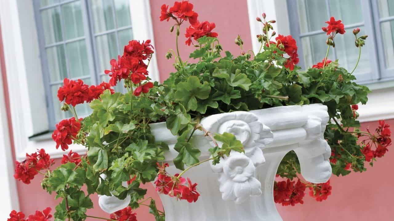 Types of Geraniums and their Characteristics 5