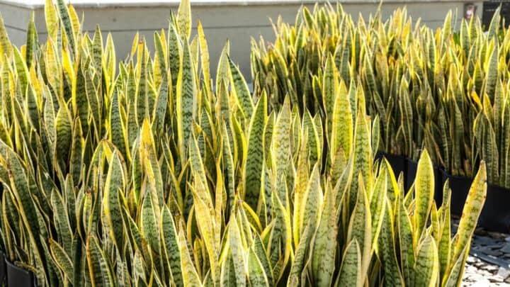 32 Varieties of Sansevieria — Nr. 24 Is Just Spectacular!