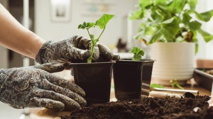 How to Root Geranium Cuttings — Generations of Geraniums!