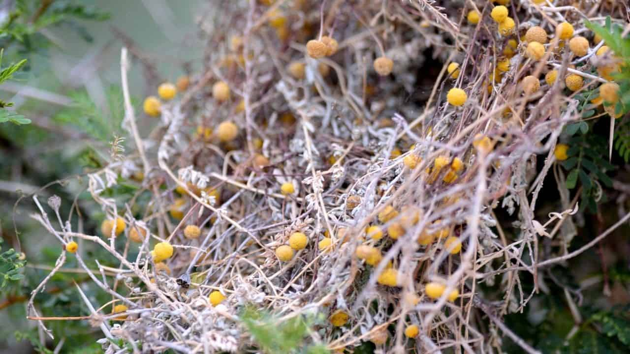 Goji Berry Varieties - 5 Types from Around the World 1