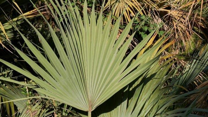 Mazari Palm Care – Best Secrets!