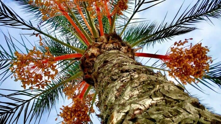 Pindo Palm Care – A Growers Guide