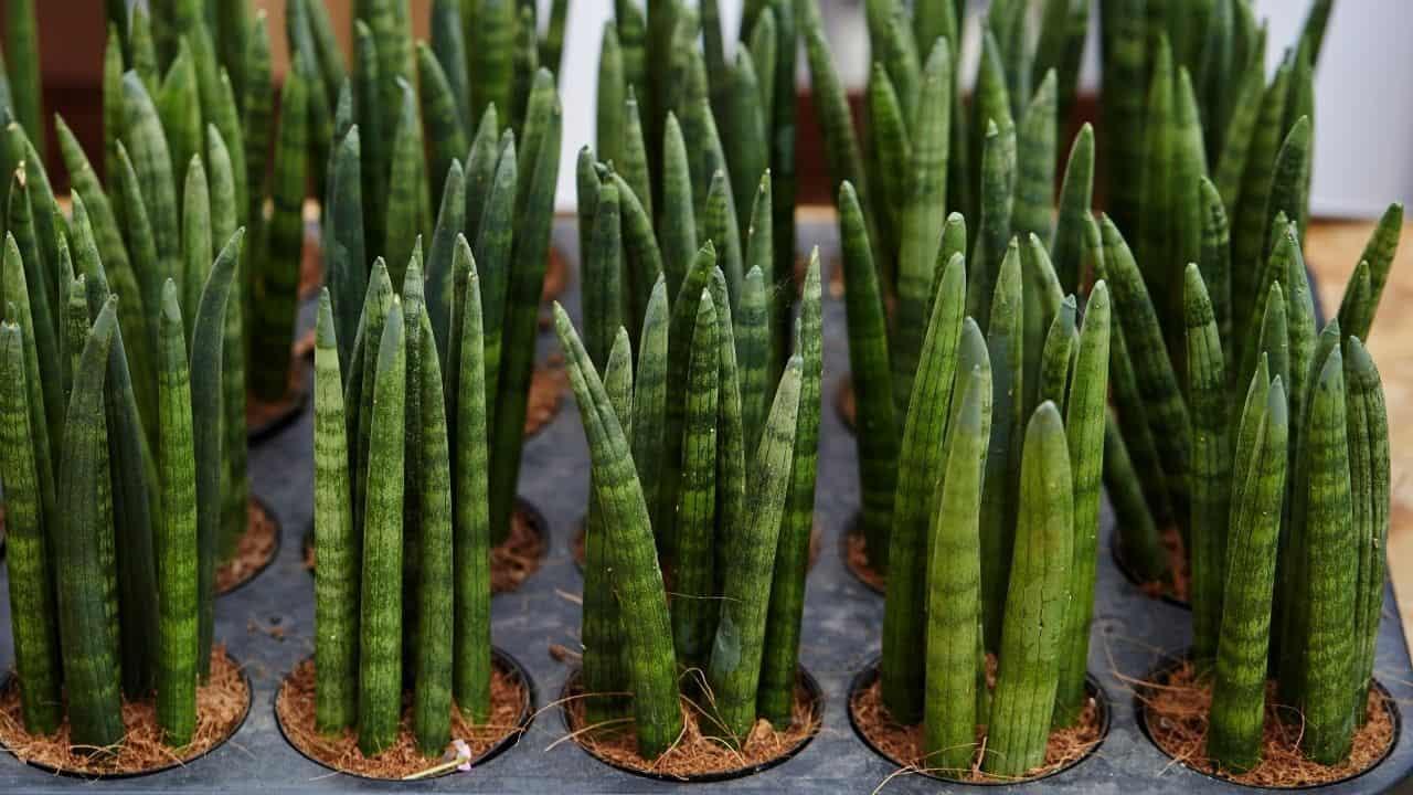 Sansevieria Trifasciata 'Cylindrica'