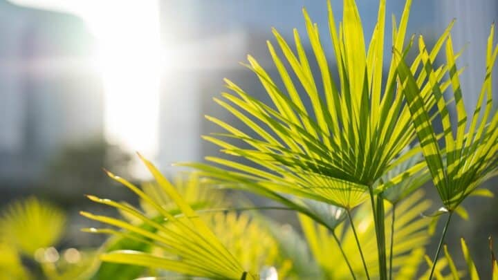 Chinese Fan Palm Care – Step By Step
