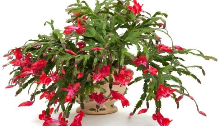 Why is My Christmas Cactus Wilting? Let's Find Out!