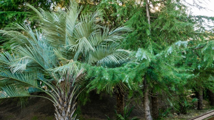 How Fast Do Pindo Palms Grow? Tell Me!