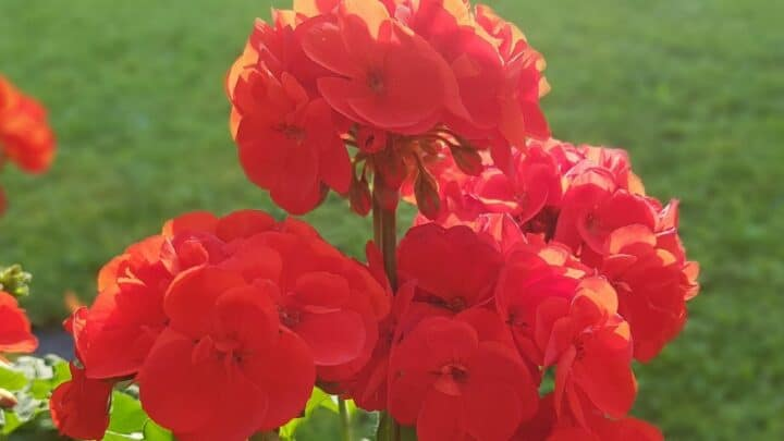 How to Grow Geraniums – The Ultimate Guide!
