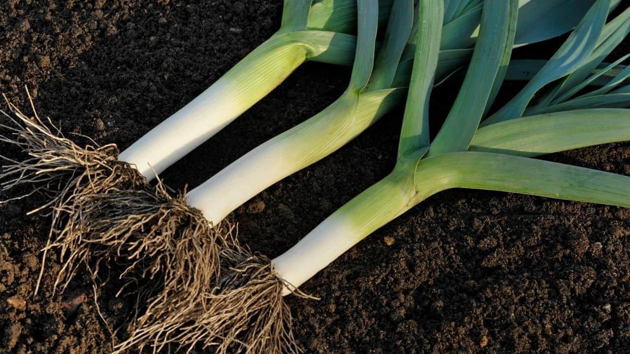11 Vegetables Grown Underground 5