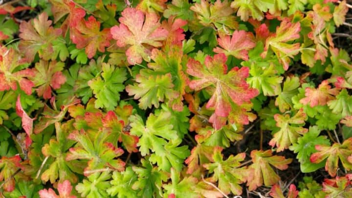 Why Do Geranium Leaves Turn Red? Gardeners Take Warning!