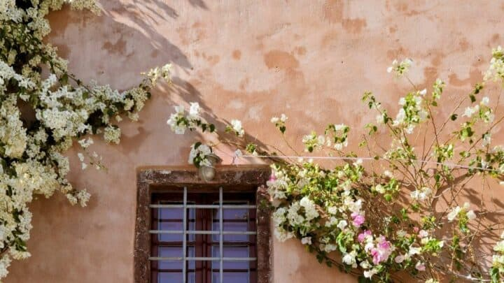 How to Grow a Bougainvillea on a Wall – WOW!