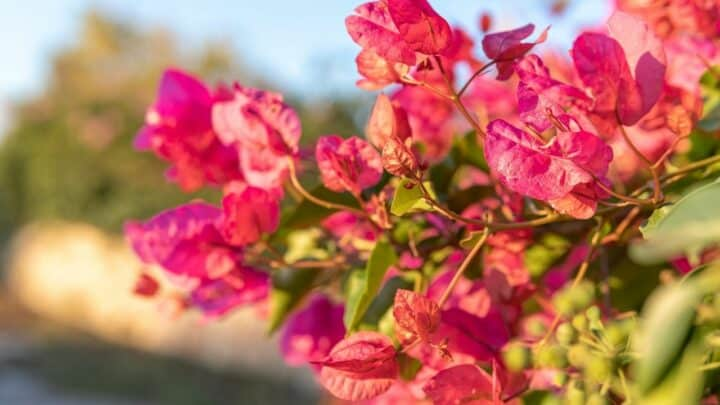How to Grow Bougainvilleas – Top Tips!
