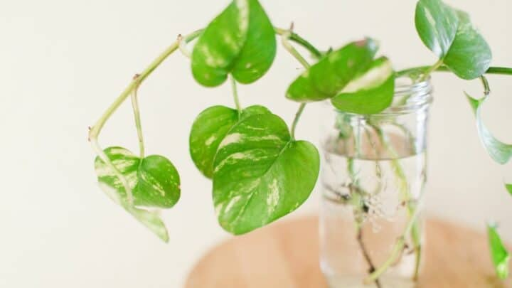 How Do You Save An Overwatered Pothos? Read This!