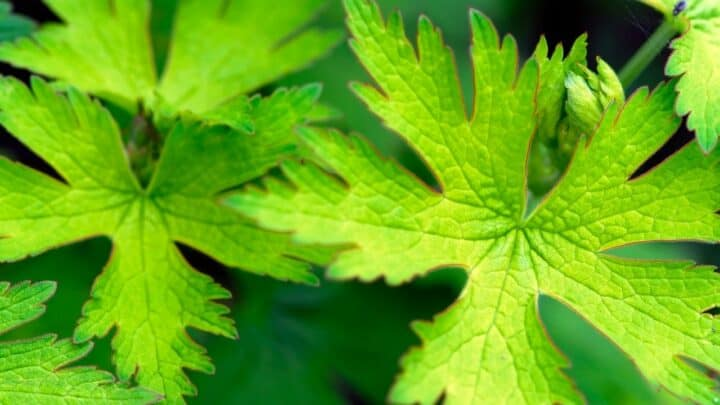 Spots on Geranium Leaves – Marks of Trouble!