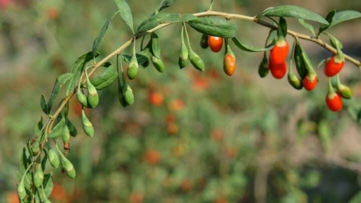 Goji Berry Plant Problems and Solutions!