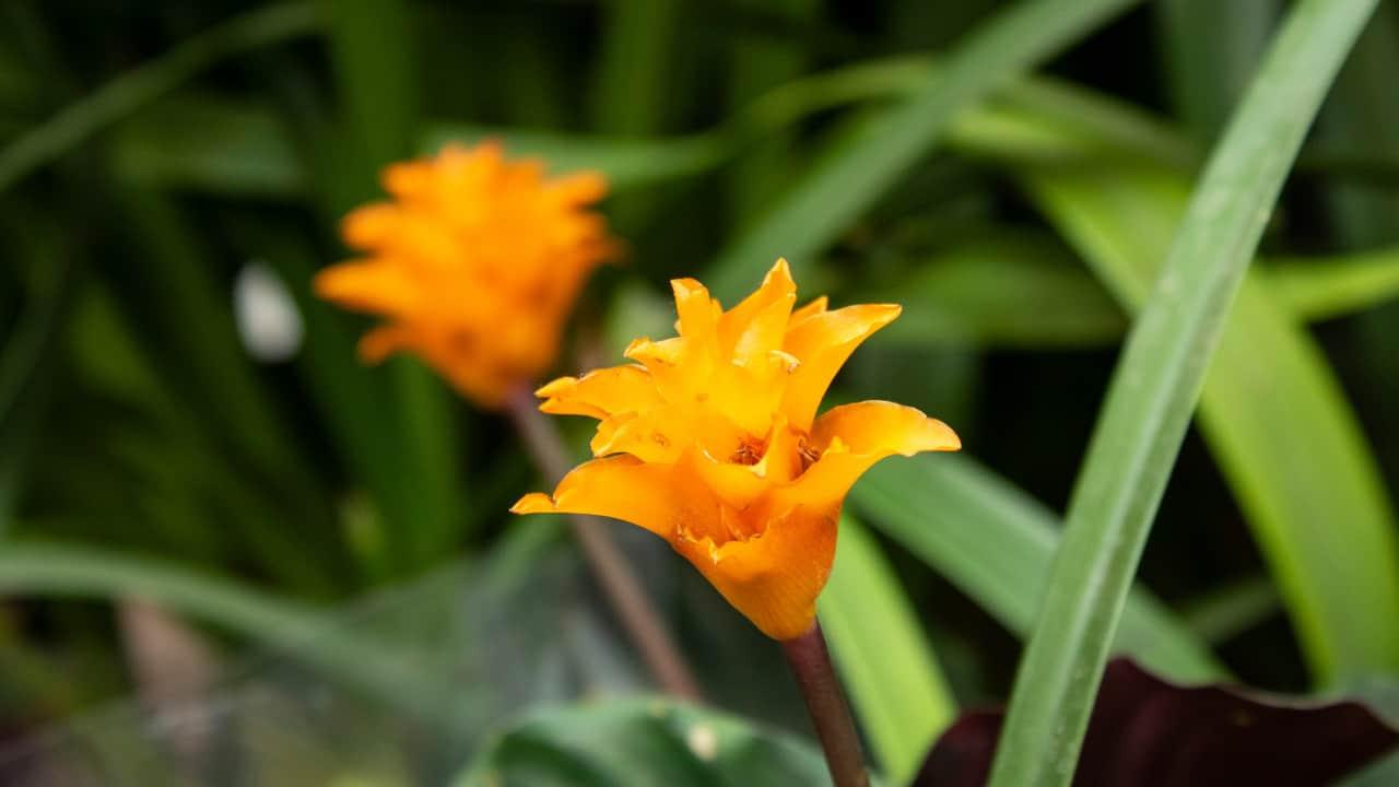 Calathea crocata (Eternal Flame)