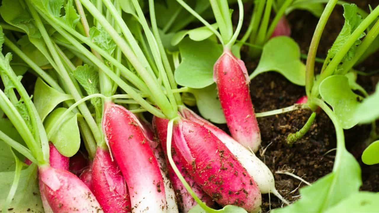 11 Vegetables Grown Underground 8