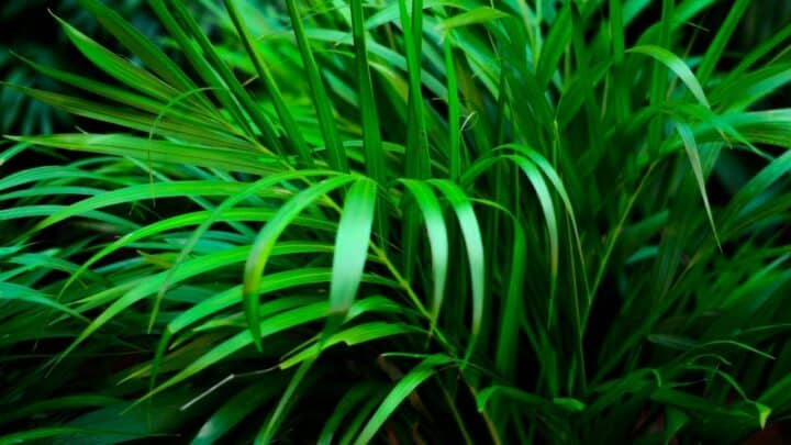 How To Prune A Majesty Palm? Here's How!