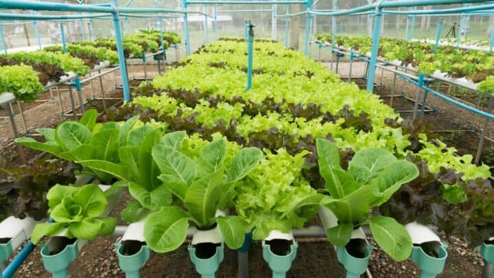 15 Best Vegetables for Hydroponics