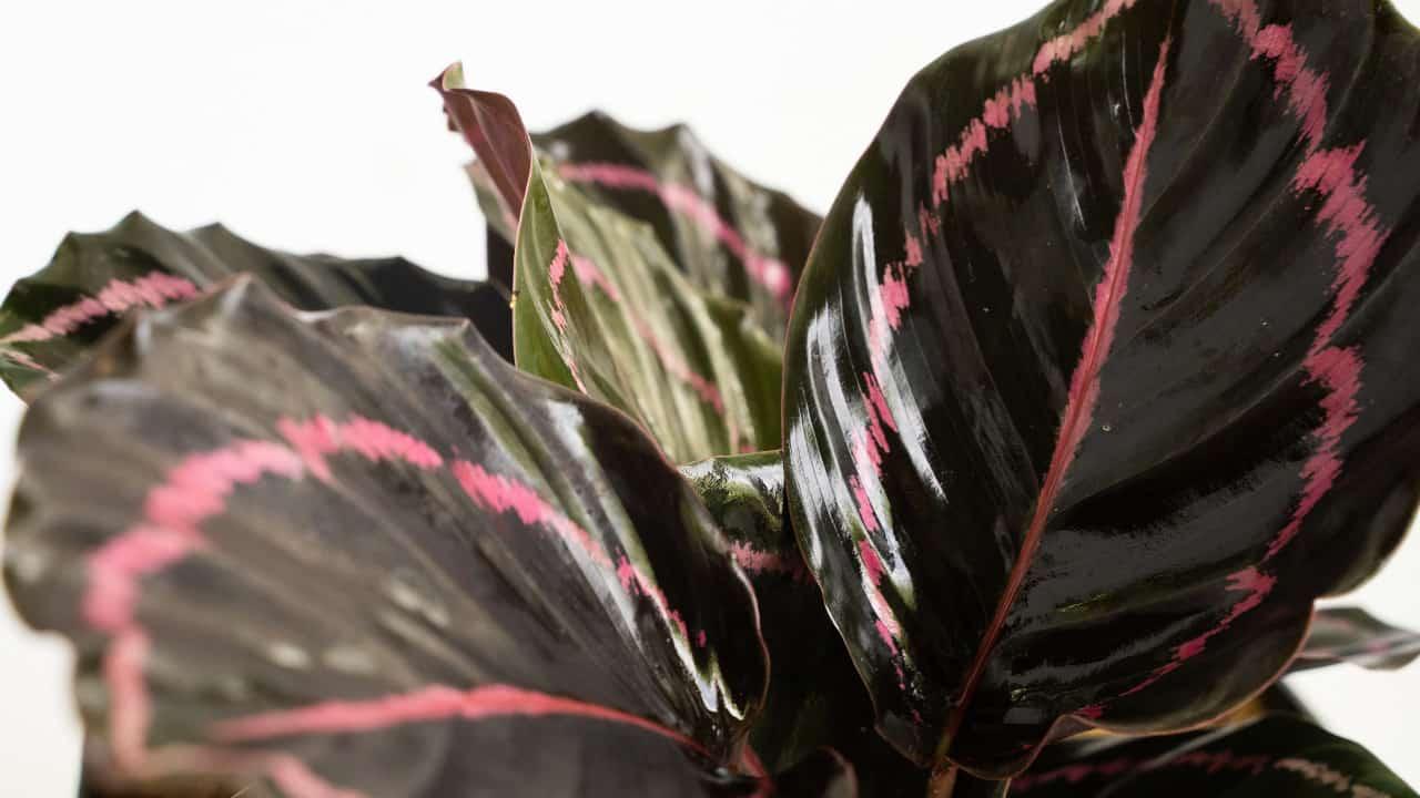 Calathea roseopicta (Corona)