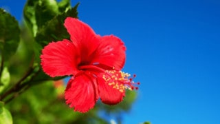 Best Fertilizers for Hibiscus