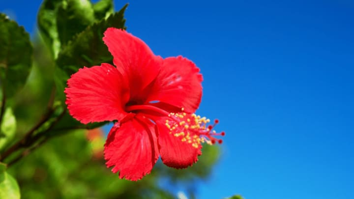 6 Best Fertilizers for Hibiscus – A Buyers Guide