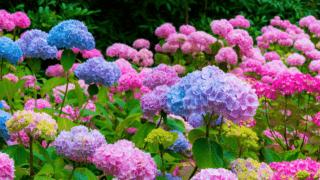Best Fertilizers for Hydrangeas