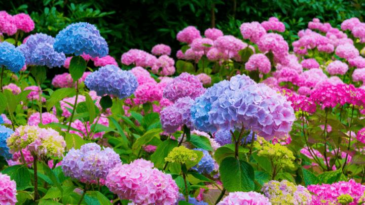 9 Best Fertilizers for Hydrangeas – A Buyers Guide
