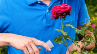 Best Fertilizers for Roses
