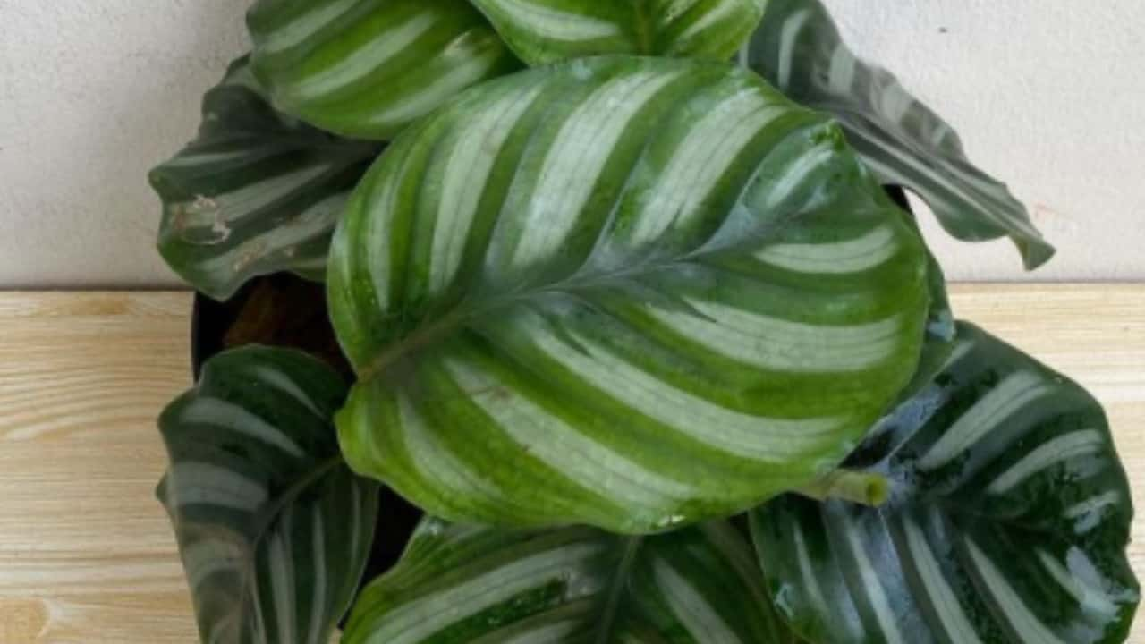 Calathea fasciata (Rotundifolia)