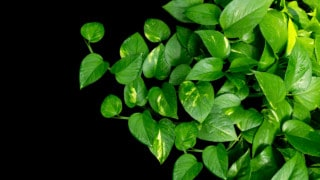 Reasons Why Your Pothos Plant is Dying