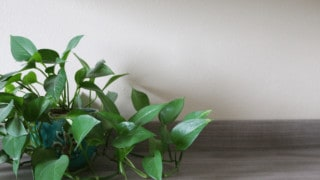 Why Is My Pothos Wilting