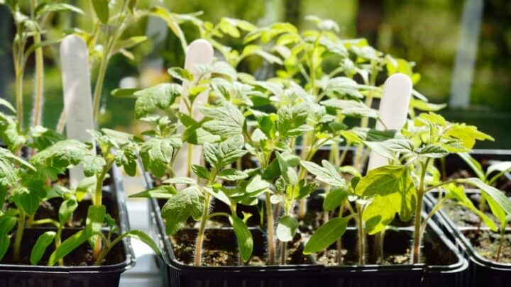 6 Reasons Why Tomato Seedlings Are Dying