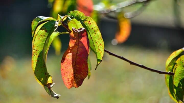 Red Spots On Peach Tree Leaves — Causes & Remedies