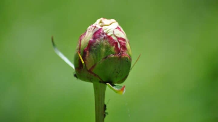 Why Are My Peonies Not Blooming? Here's Why!
