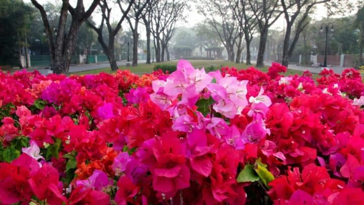 How to Care for Bougainvillea in Winter? Here's The Answer!