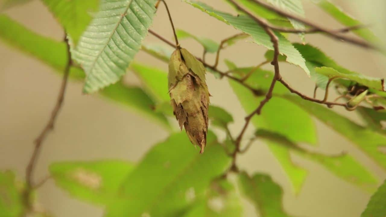 Insect Eggs On Leaves — Whose Are They? 2