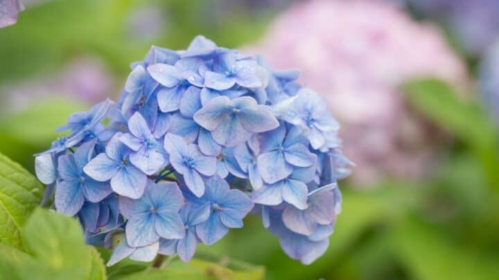 Hydrangea Not Flowering — What To Do?