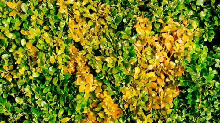 How to Get Rid of Blight in Soil? Here's How!