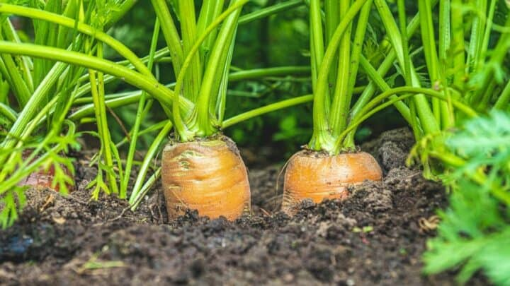 Why Are My Carrots Not Growing? Thats Why!