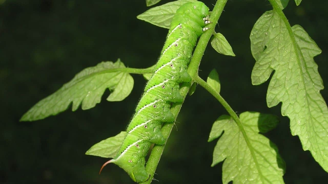 How to Keep Bugs Off a Tomato Plant 2