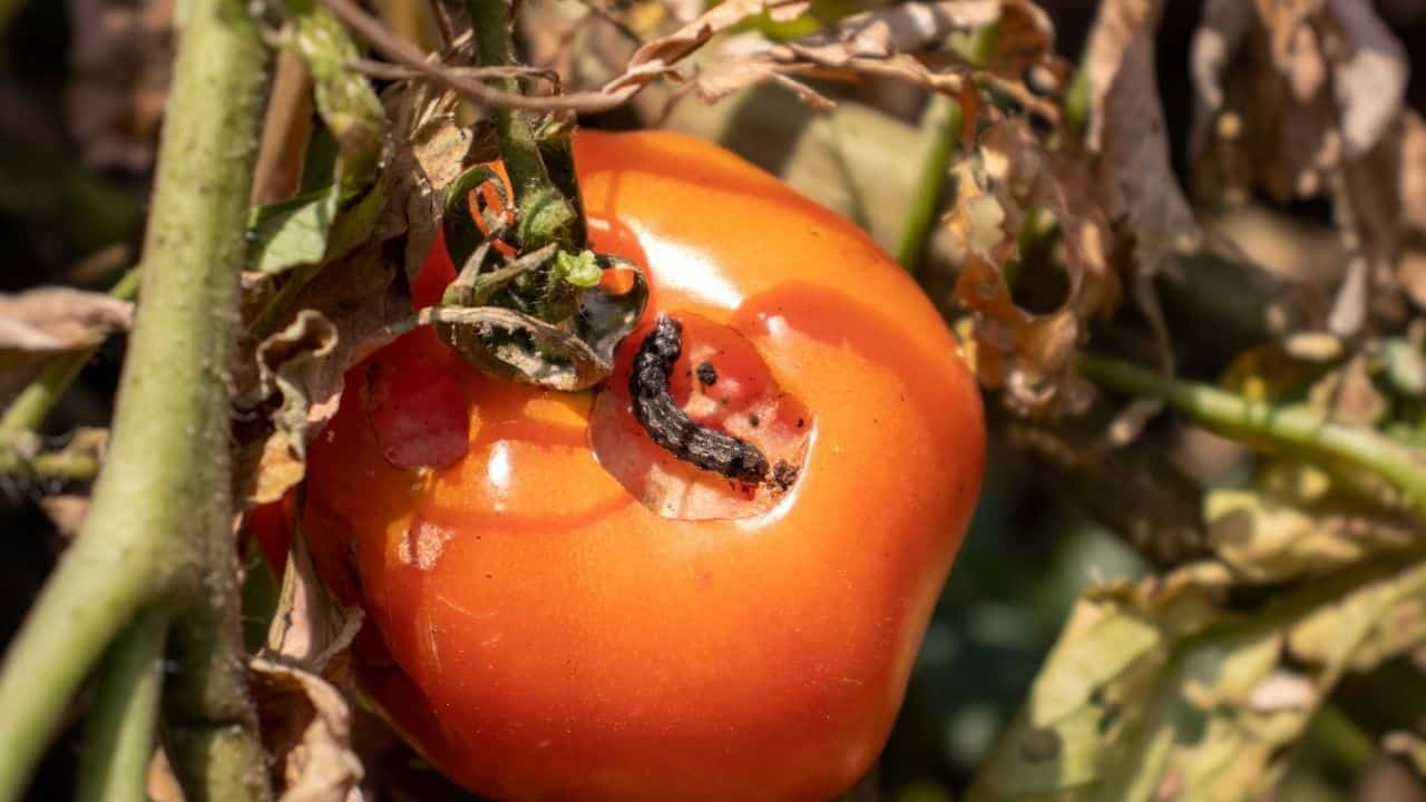 How to Keep Bugs Off a Tomato Plant 3