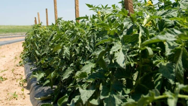 How Much Sun Does a Tomato Plant Need — Find Out Here