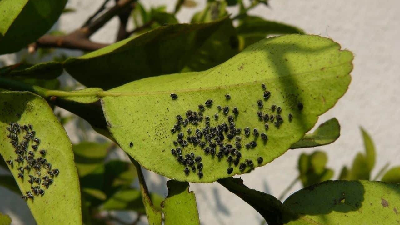 Insect Eggs On Leaves — Whose Are They? 8