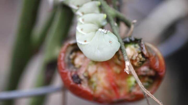 4 Methods How To Get Rid Of Tomato Worms Fast