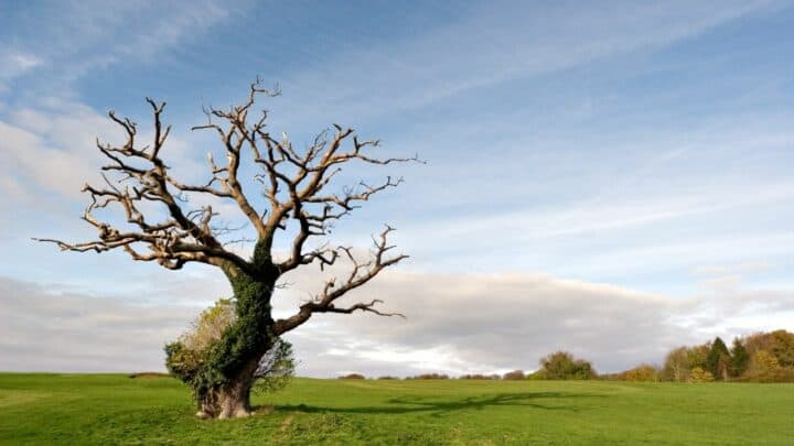 How To Save a Dying Oak Tree? Do This!